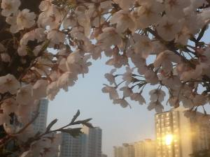 Blossom in Korea