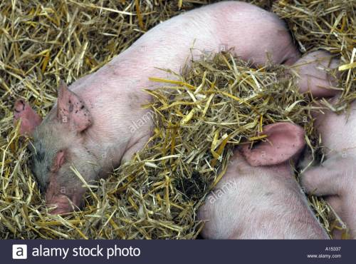piglets-sleeping-in-straw-bed-a15337